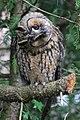 Asio Otus Otus - Waldohreule - northern Germany, wild.jpg
