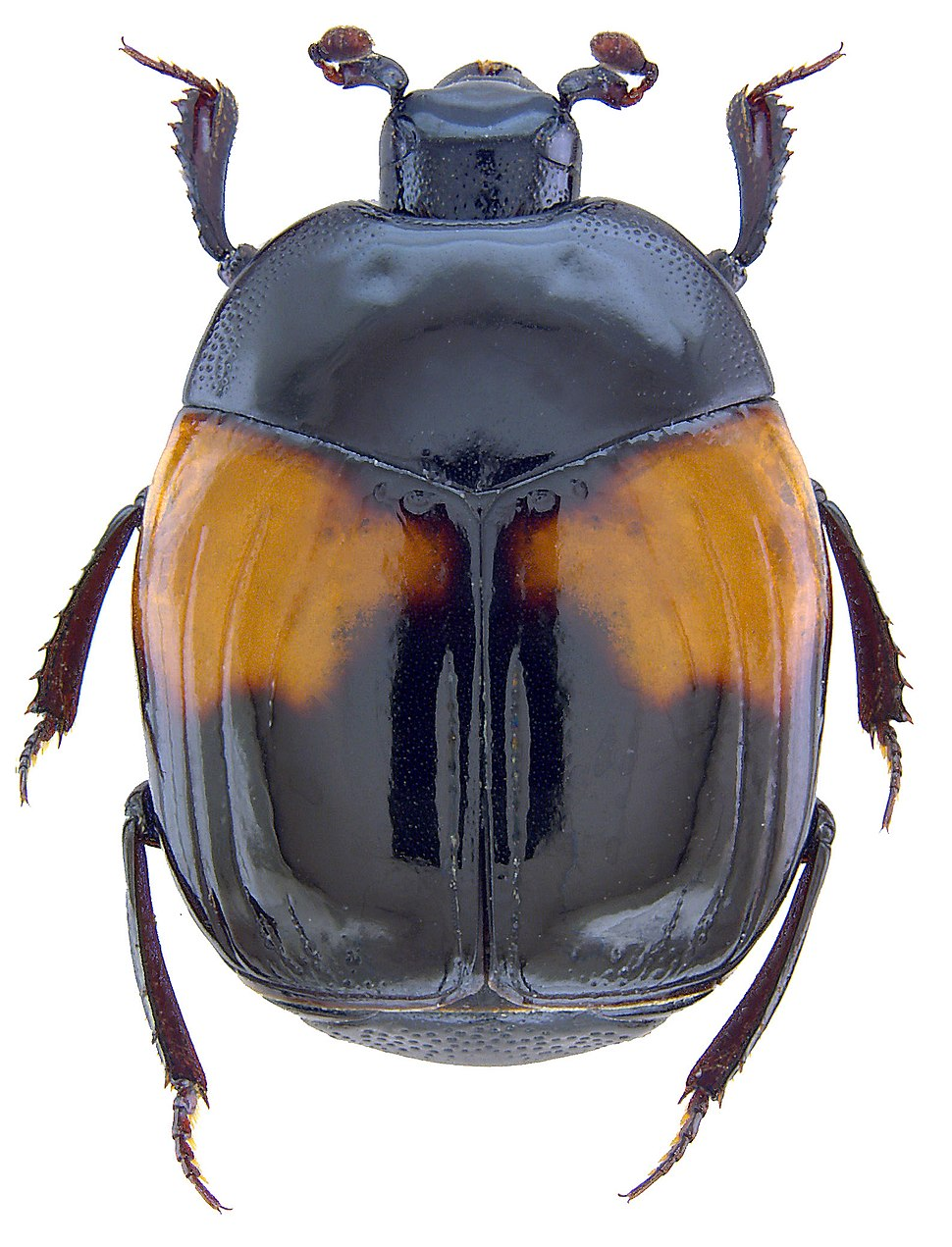 Asolenus julietteae Gomy, 2014