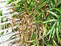 Asparagus falcatus 1.jpg