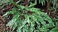 Asplenium scolopendrium. Llingua de güe.jpg