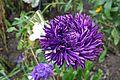 Asteraceae Callistephus chinensis.jpg