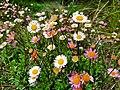 Asteraceae flowers.jpg