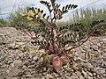 Astragalus aquilonius (4729822565).jpg