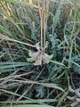 Astragalus reduncus 94594817.jpg