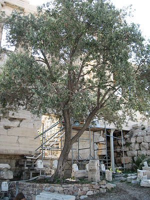 English: The olive tree at Acropolis of Athens...