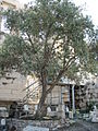 Athena's Olive tree, Greece, Acropolis, The Parthenon.jpg