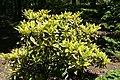 Aucuba japonica 5zz.jpg