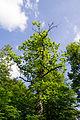 Augustdorf - 2014-05-31 - LIP-066 - Eichenallee (32).jpg