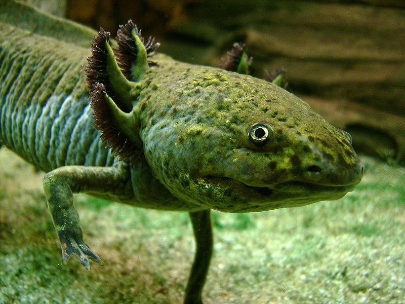 Axolotl Portrait.jpg