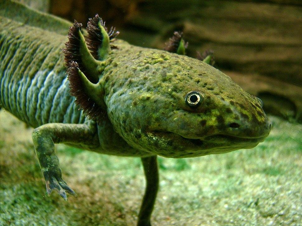 Axolotl Portrait