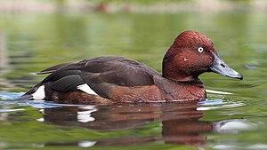 Ferruginous duck - Male
