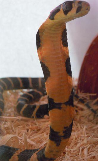 King cobra - A captive juvenile king cobra in its defensive posture