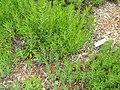 Bahia ambrosioides - University of California Botanical Garden - DSC08957.JPG