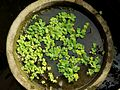 Bali 017 - Ubud - water bowl.jpg