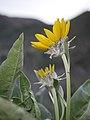 Balsamorhiza sagittata at Saddlerock Wenatchee foothills 1.jpg