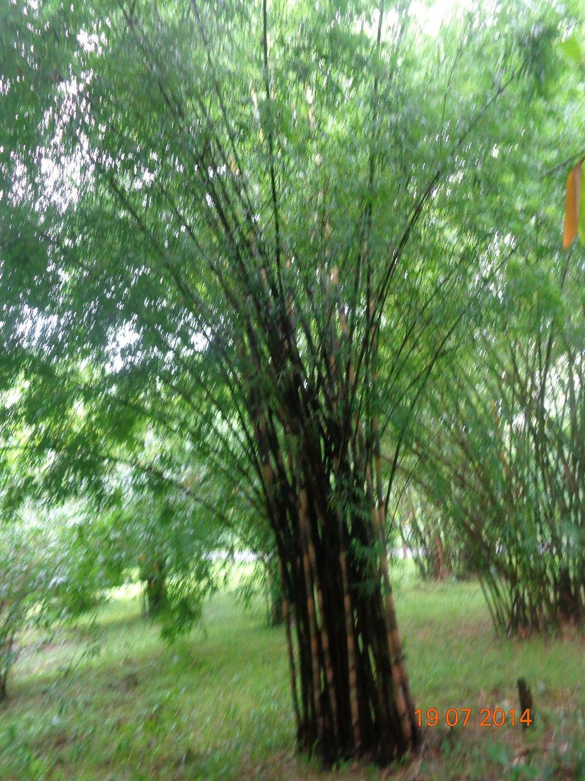 Bambusa Polymorpha Wikipedia