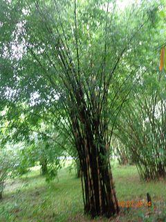 <i>Bambusa polymorpha</i> species of plant