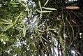 Bambusa ventricosa 5zz.jpg