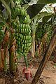 Banane (8).JPG