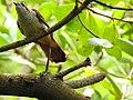 Banded bay cuckoo (ചെങ്കുയിൽ ) - 9.jpg