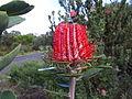 Banksia coccinea1.jpg