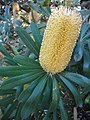 Banksia integrifolia 1w.jpg