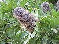 Banksia serrata0.jpg