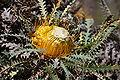 Banksia stuposa-4.JPG