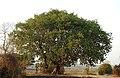 Banyan Tree Ficus benghalensis by Dr. Raju Kasambe DSCN9597 (1).jpg