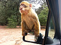Barbary macaque (10891437973).jpg