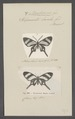 Barbicornis - Print - Iconographia Zoologica - Special Collections University of Amsterdam - UBAINV0274 049 20 0032.tif