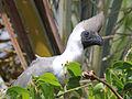Bare-faced Go-away-bird RWD5.jpg