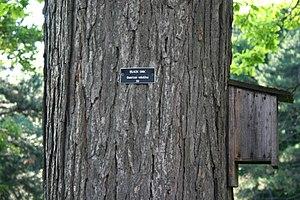 Quercus velutina - Detail of mature bark