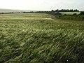 Barley, Aldworth - geograph.org.uk - 476589.jpg