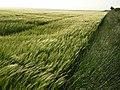 Barley, Aldworth - geograph.org.uk - 476599.jpg