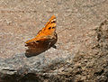 Baronet (Euthalia nais) in Narshapur, AP W IMG 1000.jpg