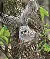 Barred-owl-chick-16tall.jpg