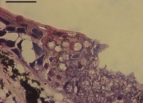 500px batrachochytrium salamandrivorans infection