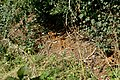 Battarrea phalloides habitat (44357921162).jpg