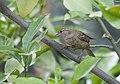 Bayağı Serçe - Passer domesticus - House sparrow 04.jpg