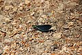 Beautiful Demoiselle - Calopteryx virgo (28484575188).jpg