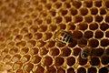 Bee bums (245215927).jpg