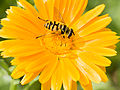 Bee on flower (14844015214).jpg