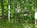 Beech Maple Forest 029.JPG