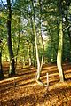 Beech wood near Burchett's Green - geograph.org.uk - 78577.jpg