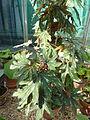 Begonia aconitifolia-Auteuil.JPG