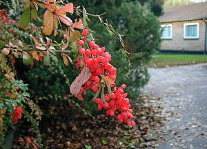 Berberis aggregata: Autumn-coloured leaves and...