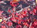 Berberis linearifolia0.jpg