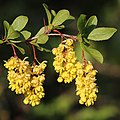 Berberis vulgaris a11 (cropped).jpg