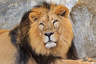 [Image: 320px-Berlin_Tierpark_Friedrichsfelde_12...n_lion.jpg]